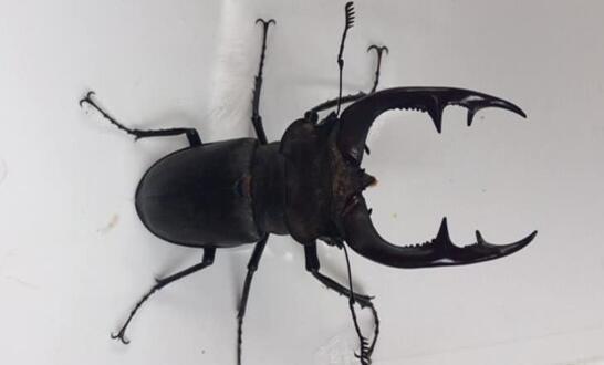 Türkoğlu İlçesinde nesli tükenmekte olan Geyik Böceği görüldü