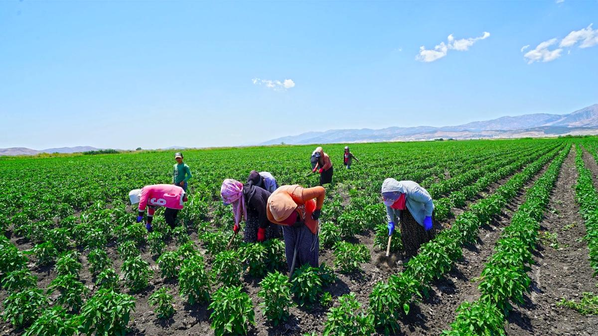 Kahramanmaraş ta dağıtılan biber fidelerinde hasat hazırlığı